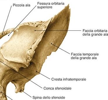 grande ala sfenoide
