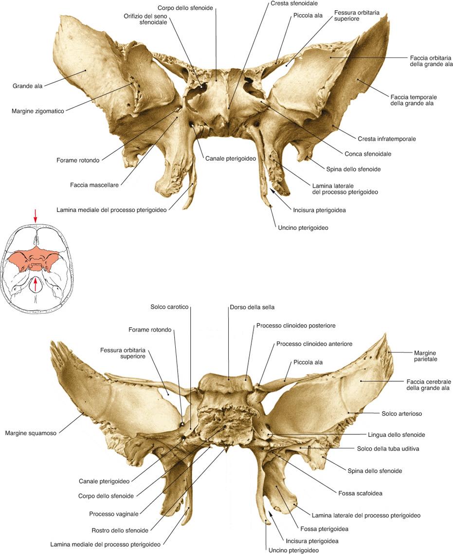 osso sfenoide immagini