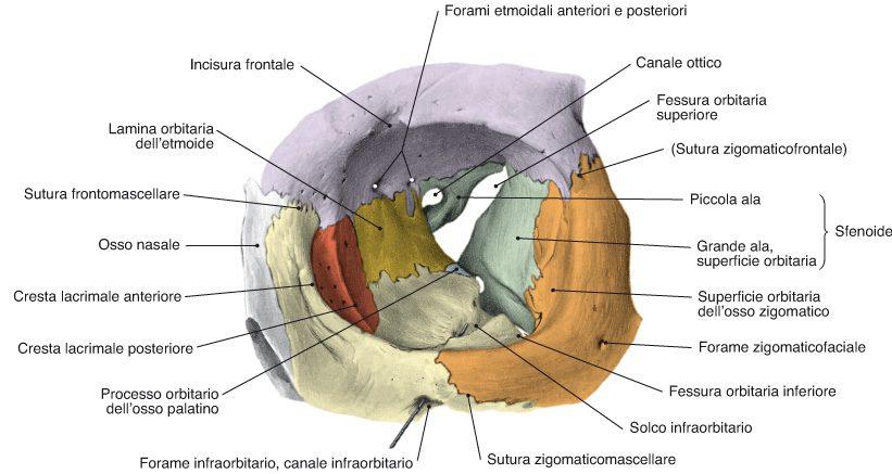 osso zigomatico, nel contesto dell'orbita