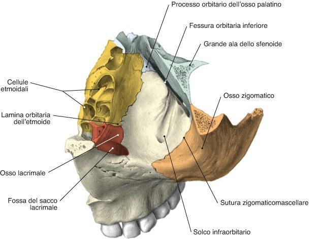 superficie orbitaria zigomatico