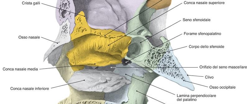 cornetti superiore e medio