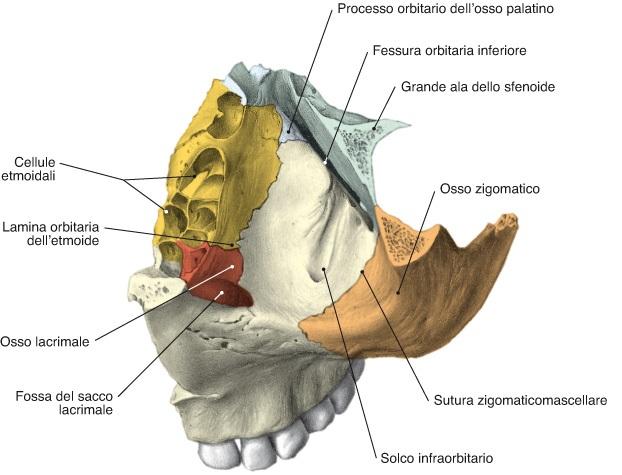osso mascellare orbita