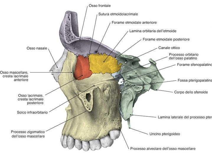osso mascellare immagine