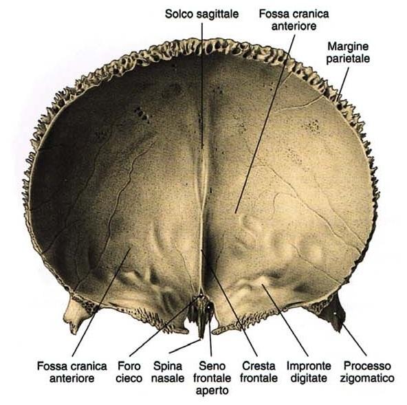 osso frontale posteriore