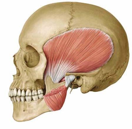 muscolo temporale