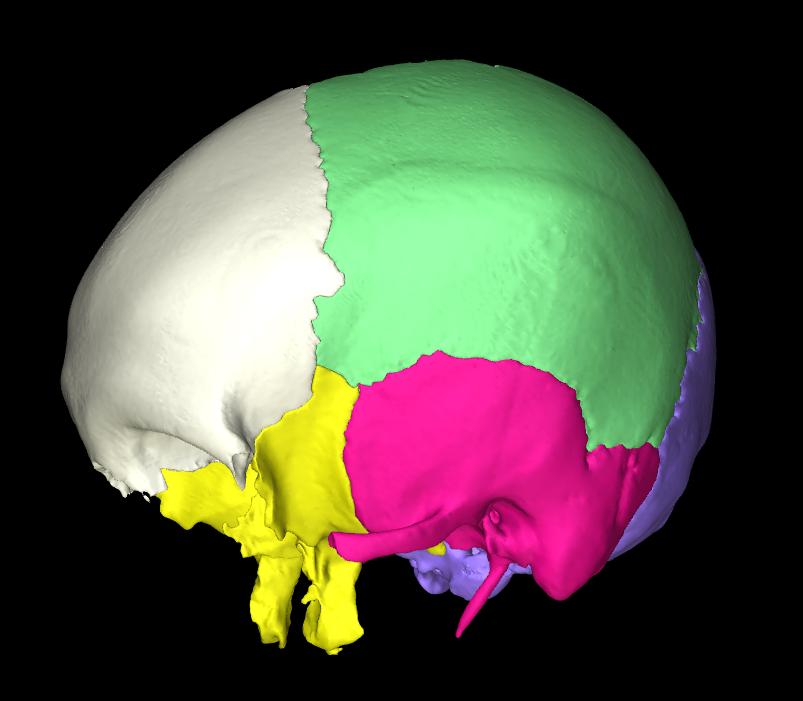 osso parietale 3d