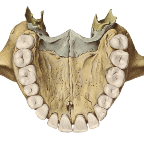 osso palatin