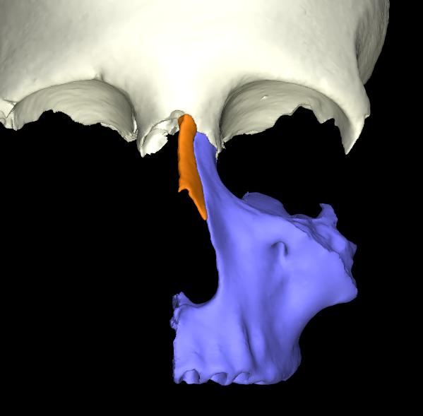 osso nasale 3d articolato (1)