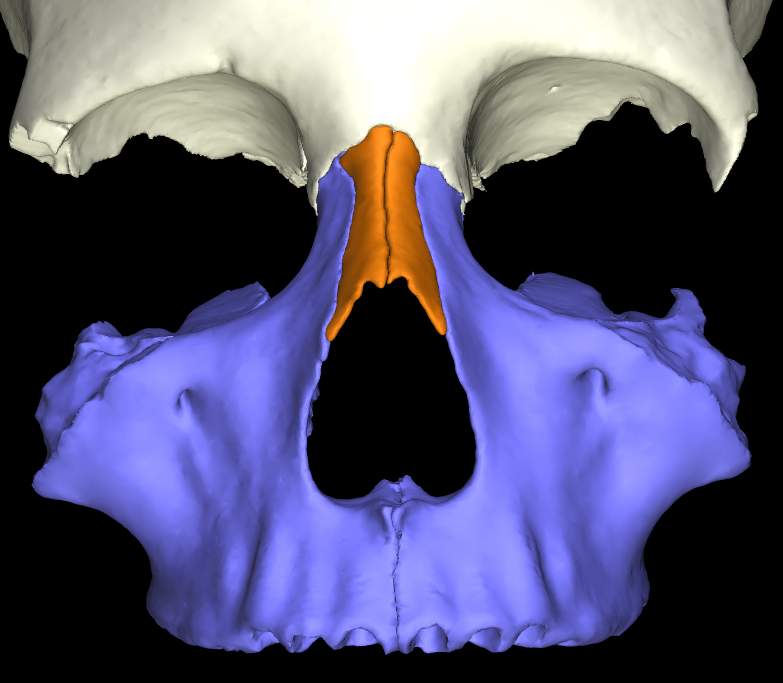 osso nasale 3d articolato (10)