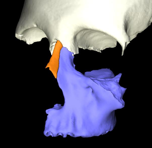 osso nasale 3d articolato (2)