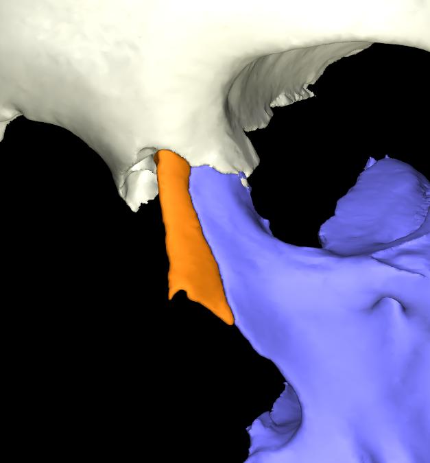 osso nasale 3d articolato (9)